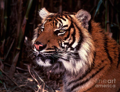 Photograph - Bengal Tiger Watching Prey by Paul W Faust -  Impressions of Light