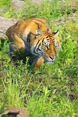 Tiger Hunt Photograph - Bengal Tigress On The Prowl by John Pitcher