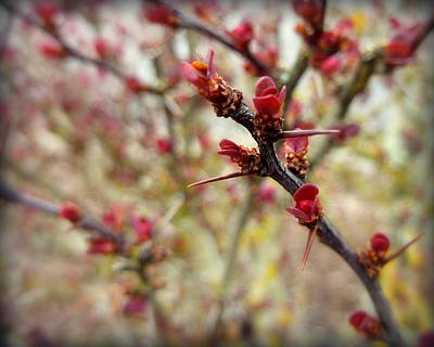Photograph - Berberis Branches by Cindy Wright