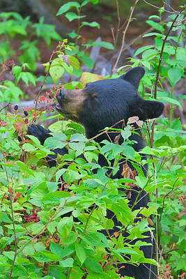 Photograph - Berry Eating Bear by Dale J Martin