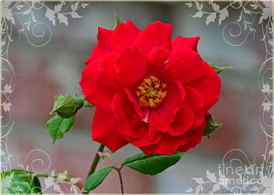Photograph - Betty's Red Rose by Debbie Portwood