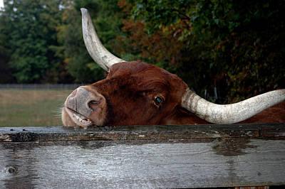 Animal Photograph - Beware Smiling Bull by LeeAnn McLaneGoetz McLaneGoetzStudioLLCcom
