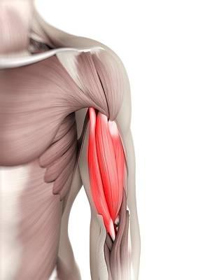 Biceps Muscle, Artwork Art Print