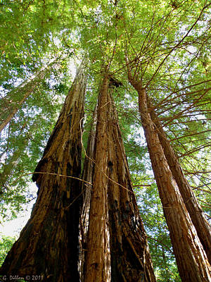 Big Basin Redwoods State Park Art Print