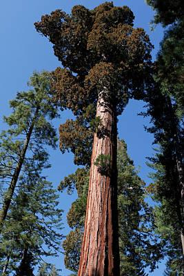 Photograph - Big Fat Sequoia by Lorraine Devon Wilke