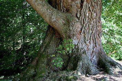 Photograph - Big Fat Tree Trunk by Lorraine Devon Wilke