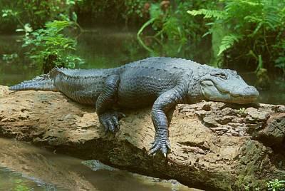 Art Print featuring the photograph Big Gator On A Log by Myrna Bradshaw