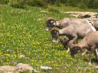 Photograph - Big Horn Sheep Feeding by Harry Strharsky