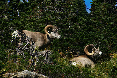 Photograph - Big Horn Sheep Glacier National Park by Benjamin Dahl