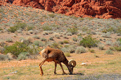 Photograph - Big Horn Sheep In Valley Of Fire by Pierre Leclerc Photography