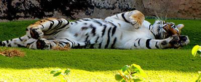 Photograph - Big Pussycat by Barbara Walsh
