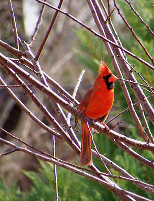 Photograph - Big Red by Judy Wanamaker