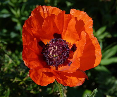 Art Print featuring the photograph Big Red Poppy by Lynn Bolt