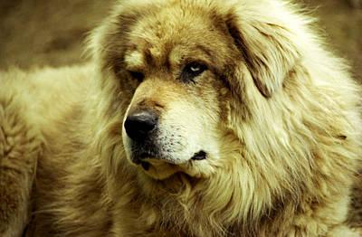 Photograph - Big Shepherd Dog by Emanuel Tanjala