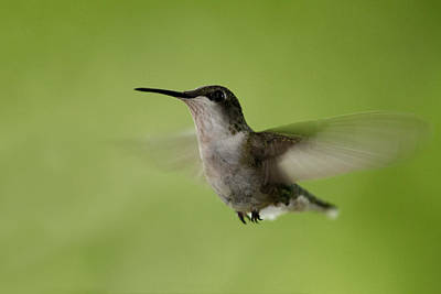 Photograph - Big Star Humming Bird by Dean Bennett