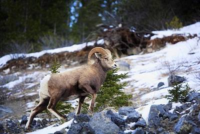 Rocky Mountain Sheep Photograph - Bighorn Sheep Climbing Snowy Rocky Hill by Richard Wear