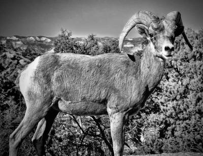Photograph - Bighorn Sheep by Ellen Heaverlo