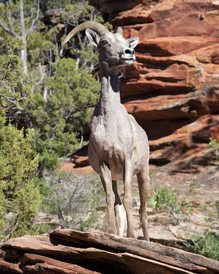 Photograph - Bighorn Sheep In Zion Natl Park by Gregory Scott