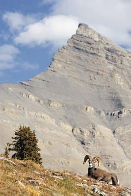 Bighorn Sheep Ram At Wilcox Pass Art Print