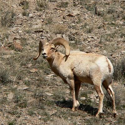 Photograph - Bighorn Sheep Ram by Eric Tressler