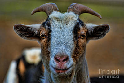 Butting Heads Photograph - Billy Goat by Paul Ward