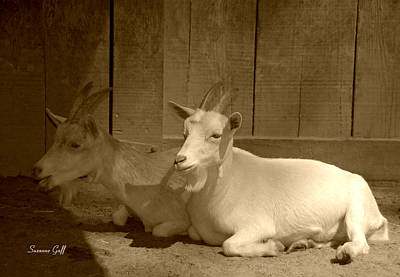 Photograph - Billy Goat Siesta In Sepia by Suzanne Gaff