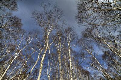 Print featuring the photograph Birch Forest by Tad Kanazaki