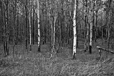 Birch Forest Art Print by Tom McCarthy