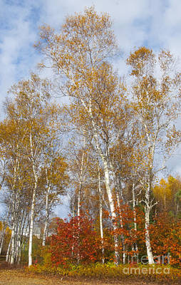 Photograph - Birch Grove 4269 by Charles  Ridgway