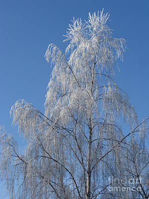 Photograph - Birch In Frost. by Ausra Huntington nee Paulauskaite