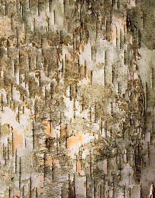 Birch Tree Bark Detail Print by Siede Preis