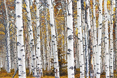 Keith Richards - Birch Trees No.0644 by Randall Nyhof