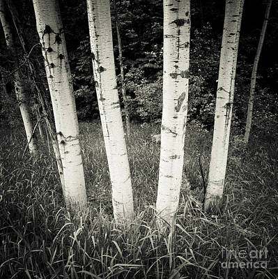 Photograph - Birch Trees by RicharD Murphy