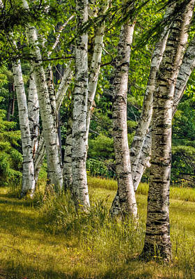 Photograph - Birches by Fred LeBlanc