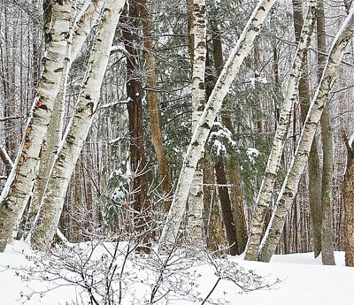 Photograph - Birches by Mary McAvoy