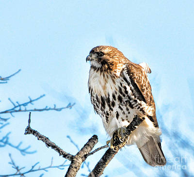 Falconers Photograph - Bird - Red Tail Hawk - Endangered Animal by Paul Ward