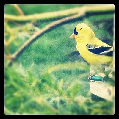 Finch Photograph - #bird #idaho #backyard #gold #finch by Cassidy Taylor