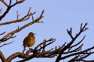 Bird In Dry Tree Art Print by Joab Souza