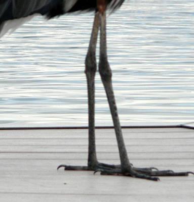 Bird Legs Art Print by Christy Usilton