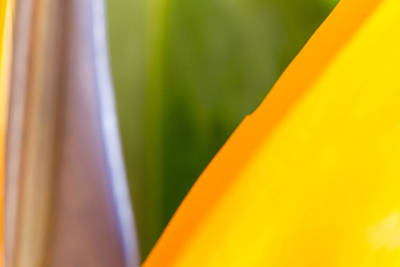 Photograph - Bird Of Paradise Abstract 3 by Roger Mullenhour
