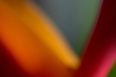 Photograph - Bird Of Paradise Abstract by Roger Mullenhour