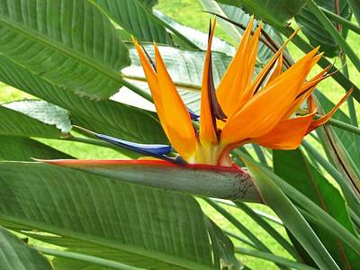 Art Print featuring the photograph Bird Of Paradise by Craig Wood