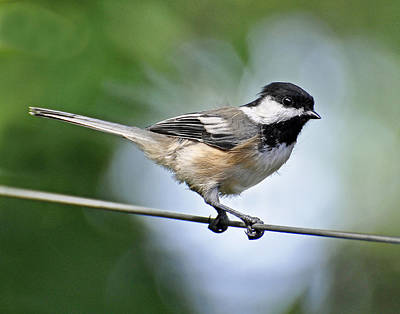 Photograph - Bird On A Wire by Rodney Campbell