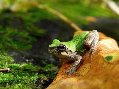 Photograph - Bird-voiced Tree Frog by Griffin Harris