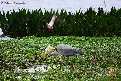 Photograph - Birding Action At Circle B Bar Reserve by Barbara Bowen