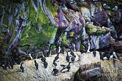 Razorbill Wall Art - Photograph - Birds At Cape St. Mary's Bird Sanctuary In Newfoundland by Elena Elisseeva