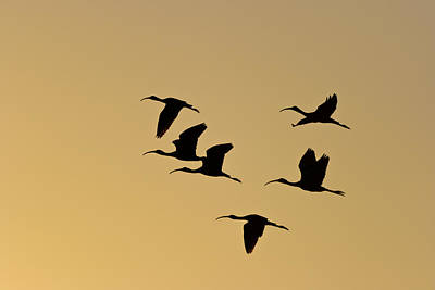 Photograph - Birds In Flight by Ed Gleichman