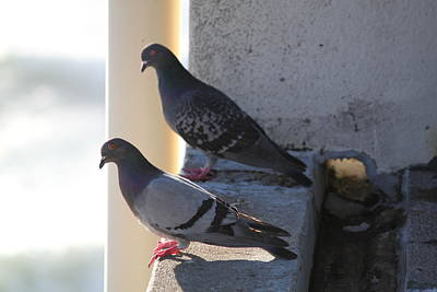 Pigeon Photograph - Birds Of A Feather by Kyle Harrigan
