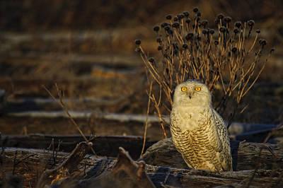 Birds Of Bc - No.12 - Snowy Owl - Bubo Scandiacus Art Print by Paul W Sharpe Aka Wizard of Wonders