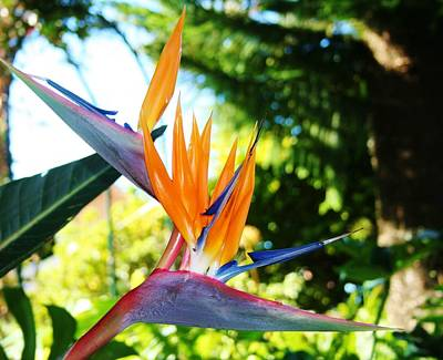 Photograph - Birds Of Paradise In Tamborine Australia by Kelly Nicodemus-Miller